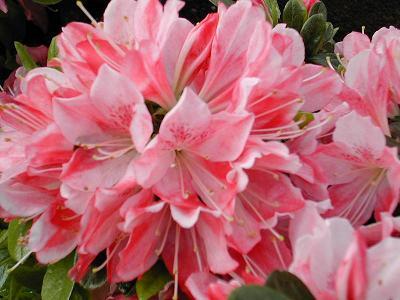 生産販売の浦和つつじ園では埼玉県でつつじや西洋紅カナメなどの植木を自社生産し直売しております。種類が豊富なつつじやカナメの植木は、業者を通さず直接の販売なので、短納期、低価格。必要な日にご用意いたします。埼玉のきれいな空気と新鮮な水で育った植木は、上質で品質の高い美しい花に仕上がっております。
