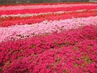 皆さんもどこかで、必ず目にした事のあるツツジの花は、4月上旬から5月上旬まで美しき咲き、公園や街路樹として多く使われるほど丈夫な植木です。庭に植えても鉢植えでも管理さえ正しくしていれば毎年たくさんの花が咲き続けます。当園では、多花性で耐寒性も強いクルメツツジを中心に生産しております。