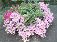直径3m程度の植え込みです。高さ50cmの株を植栽して1年目です。(品種、日の出・キリン・此の花)