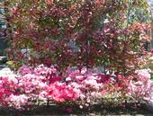 生垣(紅カナメ)の下への植栽(品種、日の出・キリン)数年後、木が大きくなることを考え十分に幅を取る