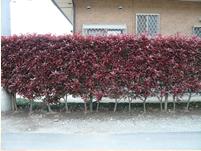 生垣植栽後3年目の生垣です。北側道路のお宅ですが、よく手入れされています。