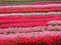 栽培面積 30,000㎡ ビニールハウス8棟先代頃(昭和30年代)より植木、特につつじを中心に生産を行っておりつつじ鉢物も30年ほど前から手がけております。他産地の鉢と違うのは特に用土です。関東ロームの赤土を主に使用しており、鹿沼土などを使った鉢より移植(特に庭土)に強いのが特徴です。