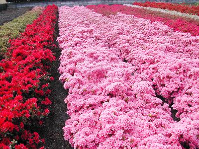 皆さんもどこかで、必ず目にした事のある植木のつつじは、4月上旬から5月上旬まで美しく咲き、花は漏斗状の合弁花で、先がふつう5つにさけます。つつじ類は一般に性質が強健で、病虫害は少ないです。公園や庭園などの植木、工場の周囲、街路樹などに広く植えられ、鉢植え、切り花としても人気があります。